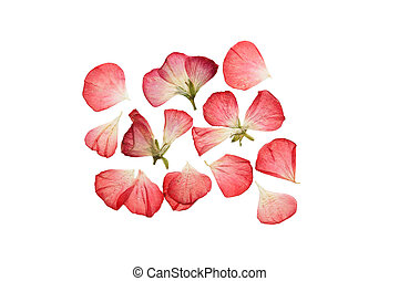 Pressed and dried pink flowers and petals of geranium. - ...