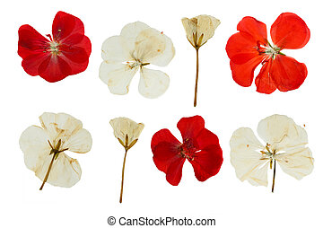 Pressed and dried red and white flowers of Geranium (...