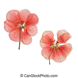 Pressed and dried salmon delicate flowers geranium. Isolated...