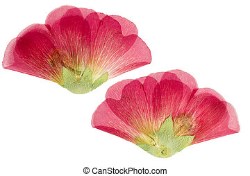 Pressed and dried scarlet flower mallow