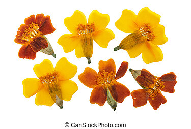 Pressed and dried set flowers tagetes or marigolds, isolated on white background. For use in scrapbooking, floristry or herbarium
