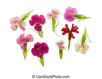 Pressed and dried set magenta flowers sweet-william (...