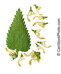 Pressed and dried stem nettle with flowers. Isolated on ...