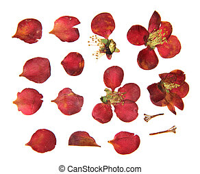 Pressed and dry large red flowers and petal set of quince. ...