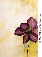 pressed clematis flower in front of blur background,