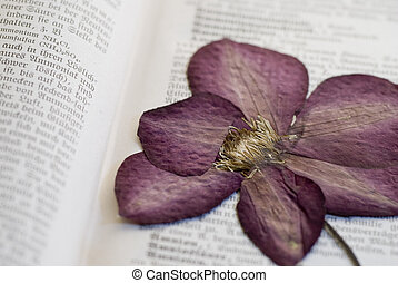 pressed clematis flower in old book