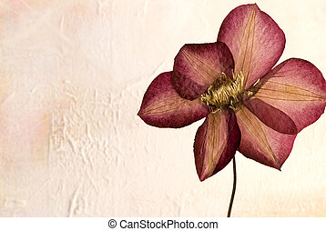 pressed clematis flower in front of textured background