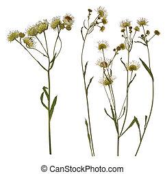 Pressed Dried branch of chamomile drug. Herbarium of wild ...