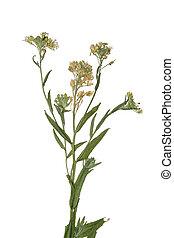 Pressed Dried branch spring field flower. Herbarium of wild ...