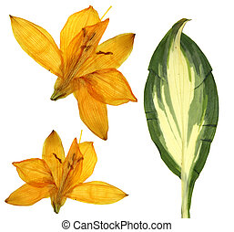 pressed orange Lilly flowers, isolated on white background dry leaf of Hosta Golden Meadows