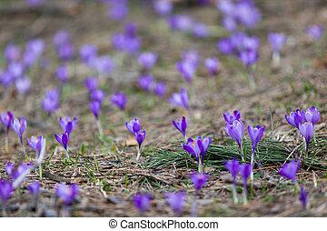 presto, primavera, fioritura, croco