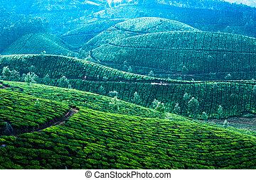 presto, tè, mattina, piantagione, nebbia, alba