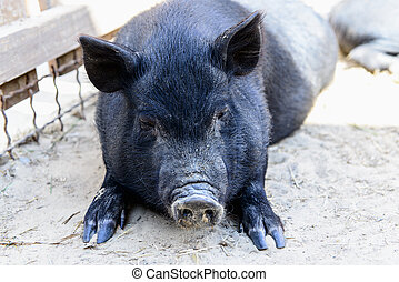 pretas,  animal, porca