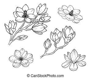 pretas, arte, linha, flor, magnólia, desenhado, branca, drawings., illustrations., mão, backgrounds., botânico