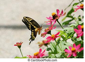 pretas, &, borboleta amarela