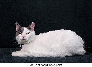 pretas, branca, gatinho