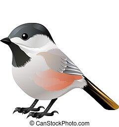pretas, encabeçado, pássaro branco