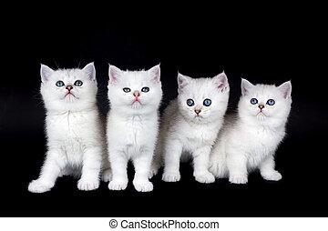 pretas, gatinhos, quatro, fila, fundo, branca