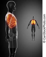 pretas, x--ray, varredura osso, costelas