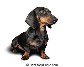 preto, cachorro marrom, (dachshund), ligado