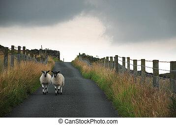 preto-encabeçado, sheep