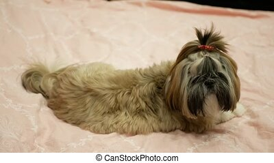 Pretty and cute dog shih tzu is laying on the bed