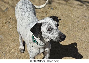 Aruban cunucu dog with different color eyes.