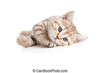 pretty baby kitten lying