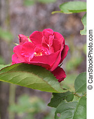 Pretty Blooming Red Rose Blossom in a Garden