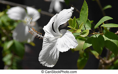 Pretty Blooming White Hibiscus Flower Blossom in the Tropics