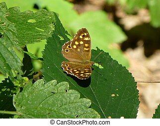 Pretty brown butterfly with yellow spots sitting on the leaf of a plant