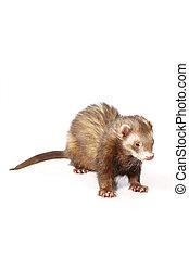 Pretty cinnamon ferret on reflective white background -...
