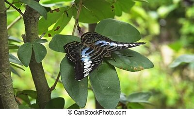 Pretty Clipper Butterfly Resting on Green Leaves - Lone...