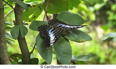 Lone specimen of Parthenos sylvia, with its typical black, blue and white patterned wings, perched on a green plant and resting. 4k footage 2160p