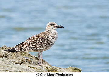 Pretty common gull standing on a rock against the blue sea