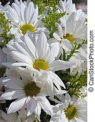 Pretty daises - bunch of white daisey flowers