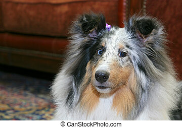 pretty dog in living room - one pretty Sheltie dog headshot ...