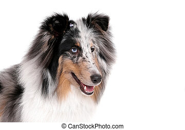 pretty dog - one pretty Sheltie dog headshot portrait over ...