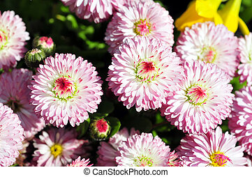 Pretty English daisies - English daisy flowers in the spring...