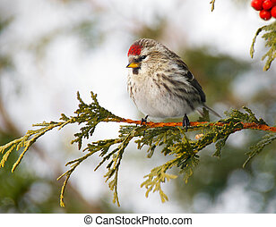 Pretty female common redpoll. - Colorful close up image of a...