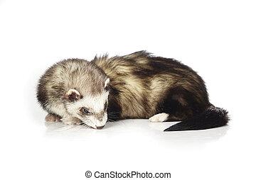 Pretty ferret on reflective white background