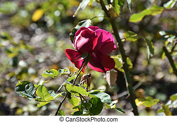 Pretty Flowering Red Rose in a Rose Garden