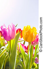 Pretty fresh tulips in spring sunshine