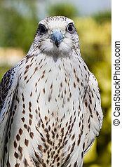 Pretty hawk - close shot of a beautiful bird of prey