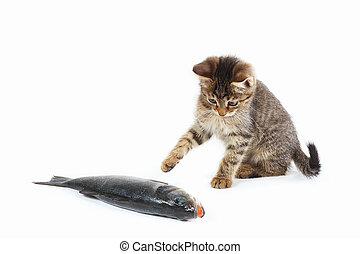 Pretty kitten looks at a labrax fish on white background -...