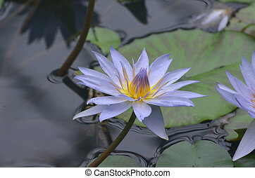 Pretty Lavender Colored Water Lily in a Water Garden