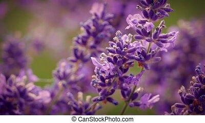 Pretty Lavender Flowers Closeup - Macro shot of lavender in...