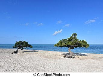 Eagle beach with a pair of divi divi trees in Aruba.