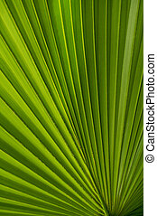 Pretty Palmate Frond - A section of a palmate palm frond.