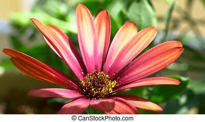 Pretty pink african daisy gardening - Summertime flowers...